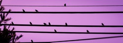 Birds starlings on wires with colorful purple background nature photography urban wildlife 2018