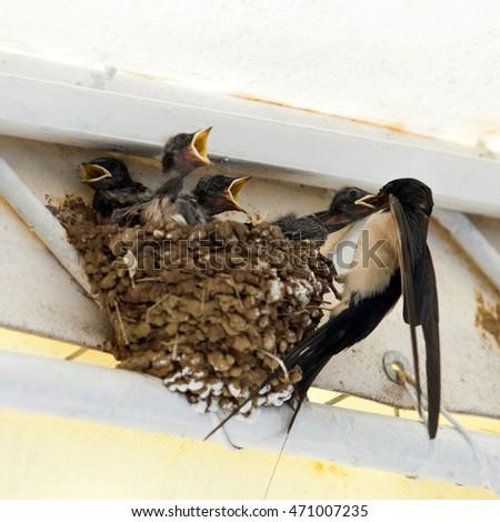 Birds, Swallow mom feeding young baby birds in urban area