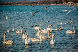 Birds swans sea gulls birds nature trip