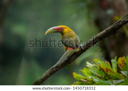 Birdwatching Araçari-banana, Pteroglossus bailloni bird of the Atlantic Forest South America South East Brazil
