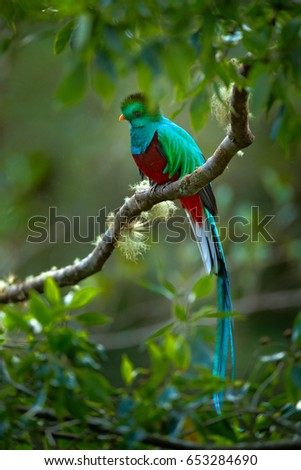 Birdwatching in America. Exotic bird with long tail. Resplendent Quetzal, Pharomachrus mocinno, magnificent sacred green bird from Savegre in Panama.