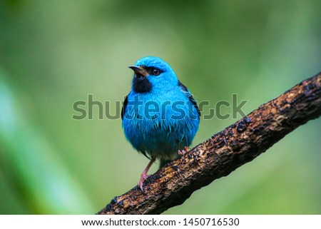 Birdwatching Saí-azul, Dacnis cayana bird of the Atlantic Forest South America South East Brazil