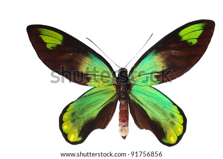 Birdwing swallowtail. Queen Victoria birdwing, (Ornithoptera victoriae) from Papa New Guinea and the Solomon Islands