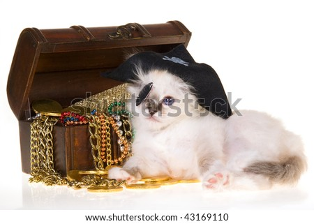 Birman kitten in pirate costume with treasure chest, on white background