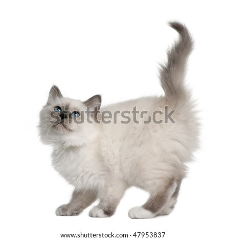 Birman kitten (11 weeks ols) in front of a white background