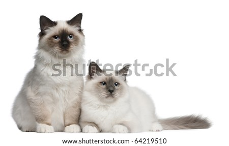Bengalbirman kittens ads at