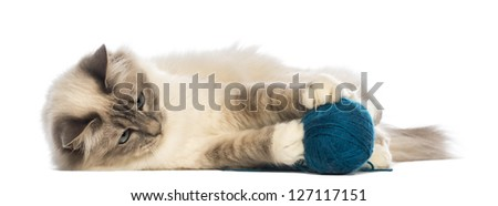 Birman lying and playing with ball of wool against white background