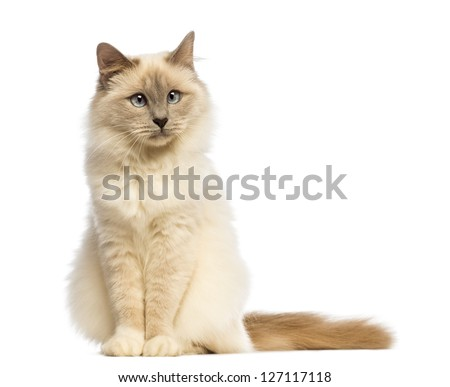 Birman sitting an looking away against white background