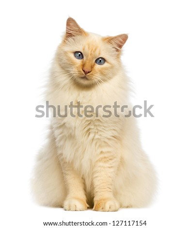 Birman sitting and looking at camera against white background
