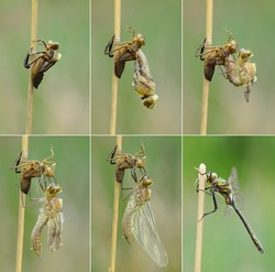 Birth of dragonfly - dragonfly hatching sequence, Downy emerald (Cordulia aenea)