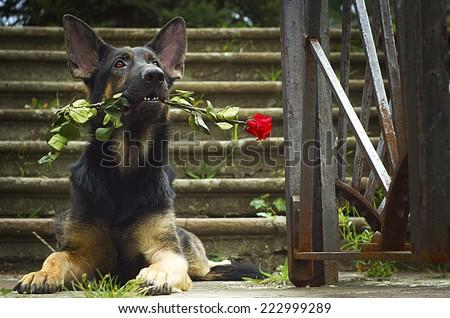 birthday dog - beautiful german shepherd dog puppy with rose flower birthday