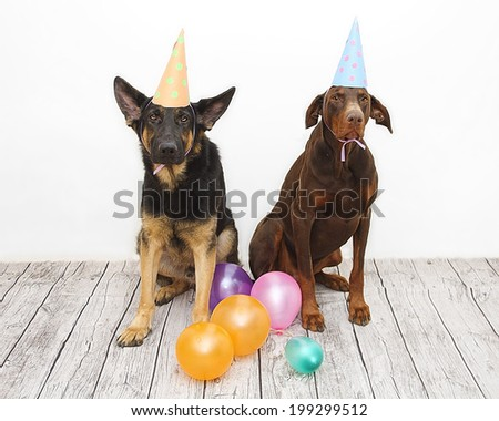 birthday dog - brown fun doberman pinscher dog and german shephe