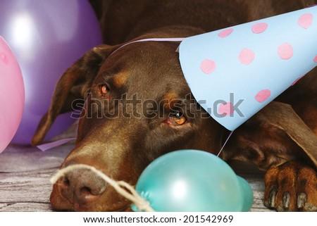 birthday dog - brown fun doberman pinscher dog with ball and dog