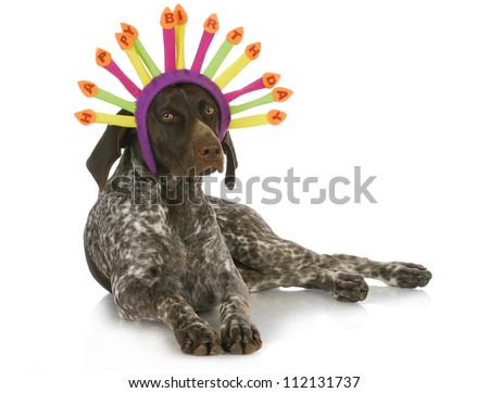 birthday dog - german short haired pointer wearing a birthday hat on white background