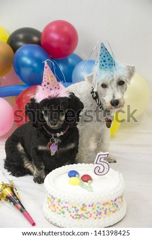 Birthday twin dogs wearing hats and surrounded by balloons