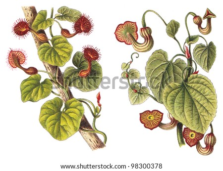 Birthworts, pipevines or Dutchman's pipes - left Aristolochia Bonplandi and right Aristolochia Sipho / vintage illustration from Meyers Konversations-Lexikon 1897