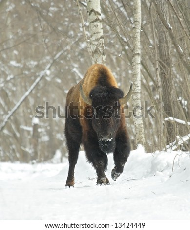 Bison at the winter forest
