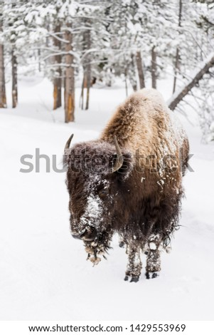 Bison (Bison bison) commonly called Buffalo surviving the brutal winter in Yellowstone National Park, WY, USA. #1429553969