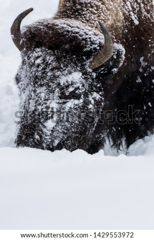 Bison (Bison bison) commonly called Buffalo surviving the brutal winter in Yellowstone National Park, WY, USA. #1429553972