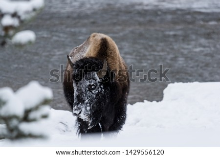 Bison (Bison bison) commonly called Buffalo surviving the brutal winter in Yellowstone National Park, WY, USA.