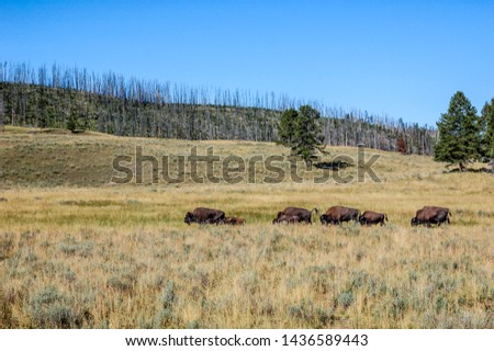 Bison (Bison bison) in Yellowstone National Park, USA #1436589443