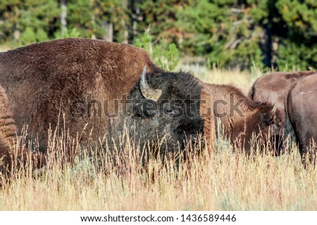Bison (Bison bison) in Yellowstone National Park, USA #1436589446
