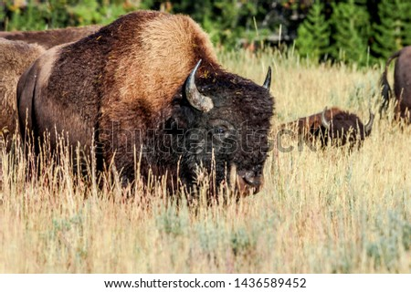 Bison (Bison bison) in Yellowstone National Park, USA #1436589452