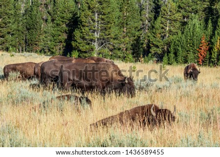 Bison (Bison bison) in Yellowstone National Park, USA #1436589455