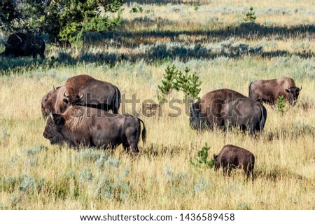 Bison (Bison bison) in Yellowstone National Park, USA #1436589458
