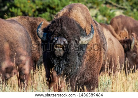 Bison (Bison bison) in Yellowstone National Park, USA #1436589464