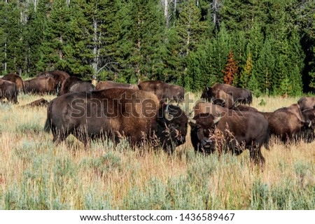Bison (Bison bison) in Yellowstone National Park, USA #1436589467
