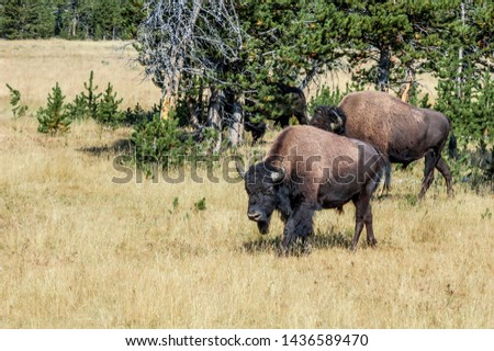 Bison (Bison bison) in Yellowstone National Park, USA #1436589470