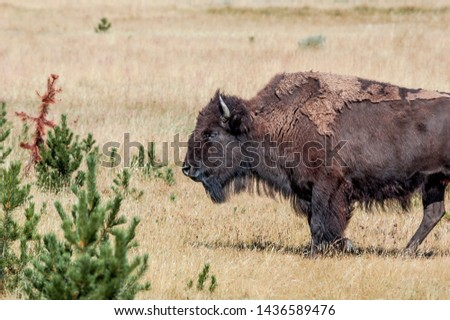 Bison (Bison bison) in Yellowstone National Park, USA #1436589476