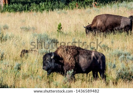 Bison (Bison bison) in Yellowstone National Park, USA #1436589482