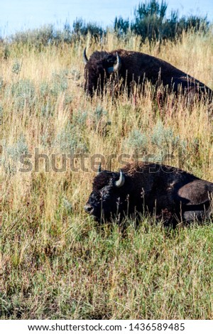 Bison (Bison bison) in Yellowstone National Park, USA #1436589485