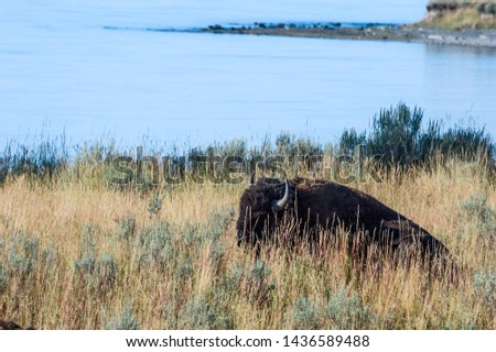 Bison (Bison bison) in Yellowstone National Park, USA #1436589488