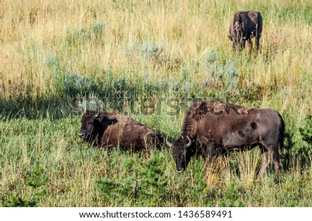 Bison (Bison bison) in Yellowstone National Park, USA #1436589491
