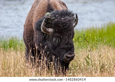 Bison (Bison bison) on a late summer day in Yellowstone National Park #1482860414