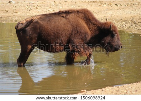 Bison (Bison bison) standing in water and splashing water by front leg. Wildlife scene. Habitat North America. #1506098924