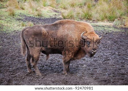 Bison (Bison bonasus) in the wild nature in national park the Belovezhsky dense forest