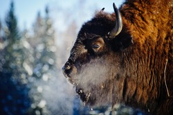 Bison (bison) in the wild, in winter, against the background of forest and snow, in their natural habitat. A beautiful portrait of a wild animal at the moment when it breathes and lets off steam