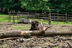 Bison ( Buffalo ) at the zoo in Targu Mures, Romania