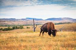 Bison buffalo grazing in the Wichita Mountains, Oklahoma