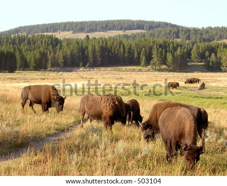 Bison (Buffalo) Herd at Yellowstone National Park