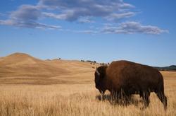 Bison / Buffalo walks off into the prairie's rolling hills; Custer State Park, South Dakota Black Hills