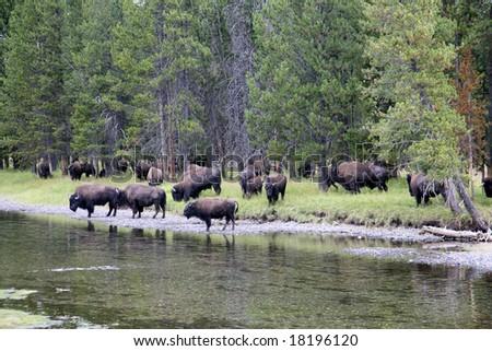 Bison (buffalo) Yellowstone National Park