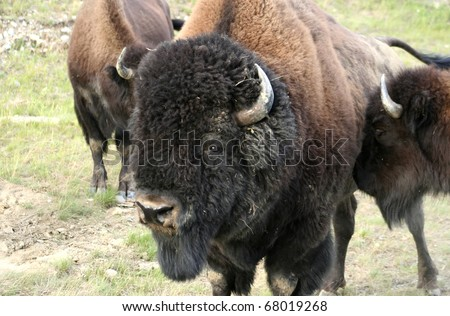 Bison Bull. An American Buffalo (Bison) bull with his herd on the side of the road. Taken at the Alaska Highway, British Columbia, Canada.