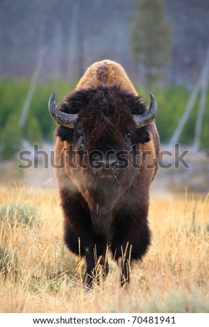 Bison bull with steam coming out of nose.  Yellowstone National Park, Wyoming.