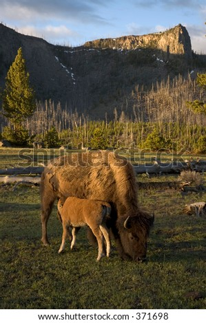Bison calf nursing - stock photo
