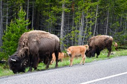 Bison Calve with family walking along the road in yellow stone